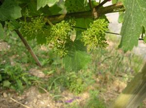 """""""2009"""" im Weinberg: Das Collegium Vini im Juni an der Tauber"""