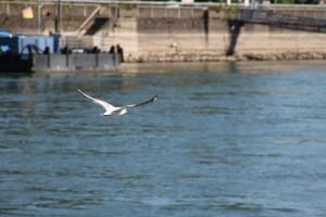 Lebendige Vogelwelt am Rhein